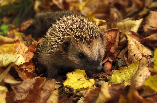 Watch out, Watch out, there's a Hedgehog about …..